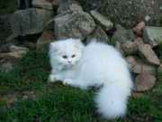 Persian Kittens CFA Reg