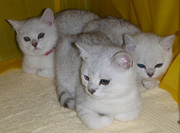 Three Affectionate british short hair kittens ready to go now