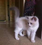 Purebred ragdoll Kittens for sale boy & girl available Bi-colour CUTE