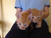 Kittens for adobtion! Price incluedes desex,  microchip and 3 Vaccinations.