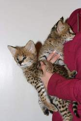 Serval and F1-F3 savannah kittens for sale