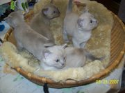 BURMESE  LILAC AND CHOCOLATE  KITTENS FOR SALE