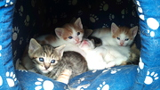 EIGHT WEEK OLD KITTENS FOR FREE