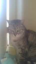 Free Silver Tabby to good home