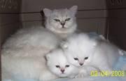 Tiffanie PureBred kittens for sale